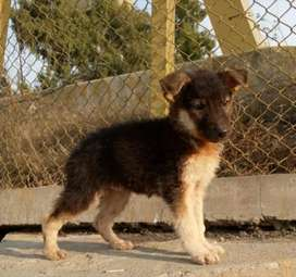 Pure German Shepherd double coat male 2 month for sale