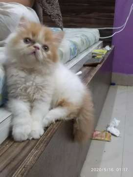 Super Top Quality Persian kitten's available