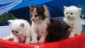 Excellent quality persian kittens for sale at your budge.