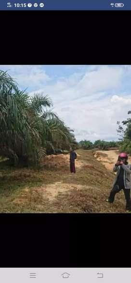Kebun sawit-And 120 Ha, Kuntu Lipat kain dijual