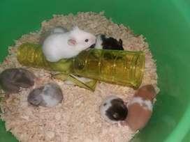 Hamster Panda Cantik jinak sudah Vaksin