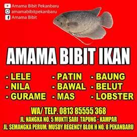 Bibit ikan air tawar #lele nila gurami patin bawal baung mas koi