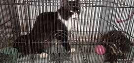 Kucing persia medium umur 13 bulan