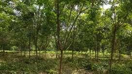 Rubber bagan Gabordi Bazar er Kache বিক্রি হবে