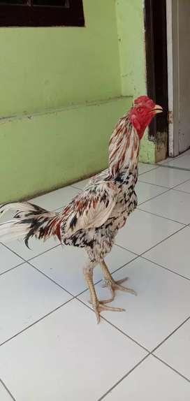 Ayam Bangkok Cerambang Muda gagah perkasa