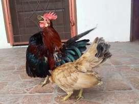 Sepaket indukan ayam serama 2 jantan 1 betina