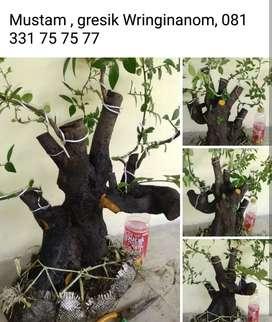 Bahan bonsai jenis muntam