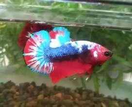 Ikan cupang koi kapten amerika multicolor antik