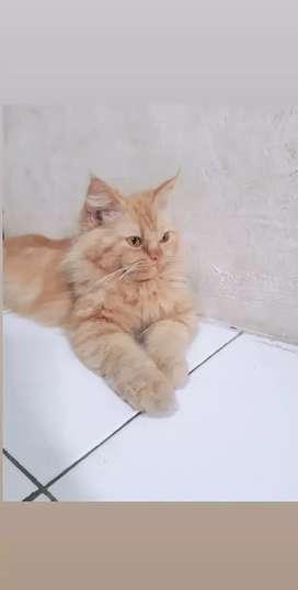Kucing persia dan himalaya