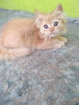 Kucing Jantan Persia Medium Kitten Jantan Persia Medium