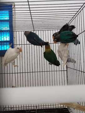 Lovebird parkit