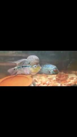 Flower Horan fish babys