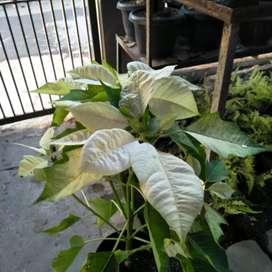 Jual pohon kastuba putih