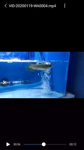 Ikan Aro RTG / Aro golden