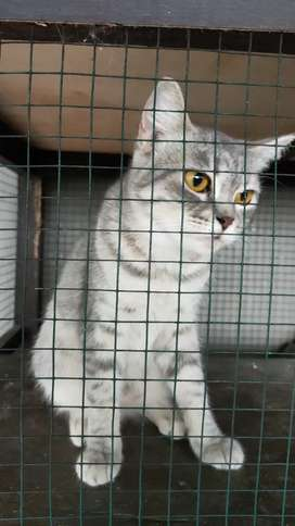 Kucing Persia medium abu abu tabby