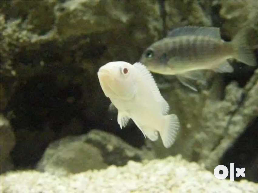 White mbuna chichlid available 0