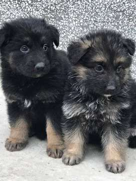 Non Pedigreed Male and Femal Puppies