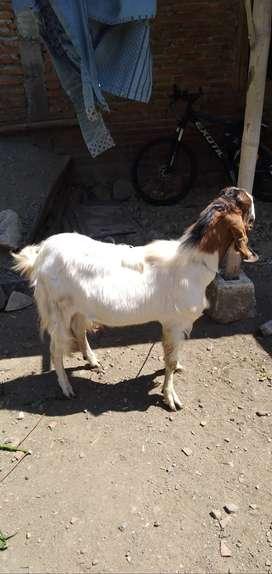 Dijual kambing siap korban