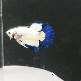 Ikan cupang blue rim line thailand jantan 3