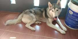 Anjing husky umur 1 thn lebih