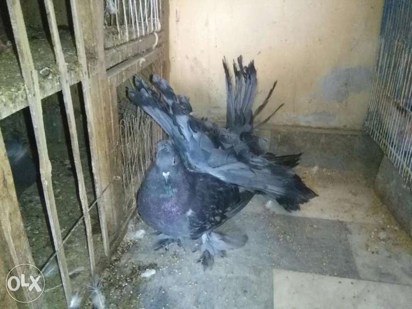 American fantail pigeons available in blue color 0
