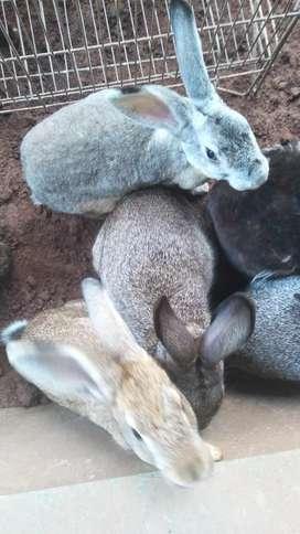 Jual kelinci dewasa