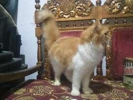 Kitten persia jantan 5bulan