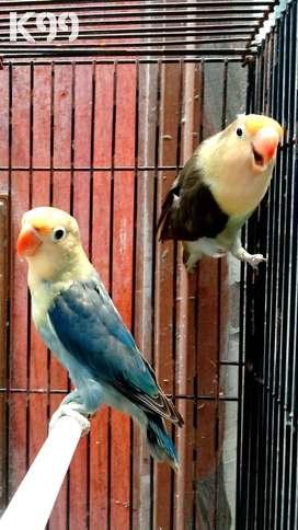 Lovebird indukan, PB