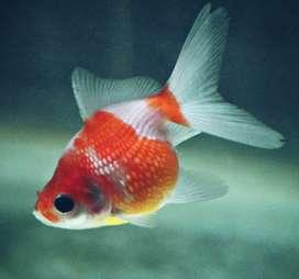 Lichi goldfish
