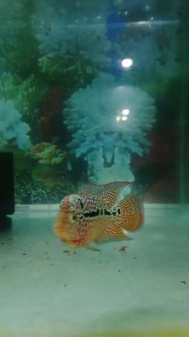 Ikan louhan kamfa ori thai maput 03