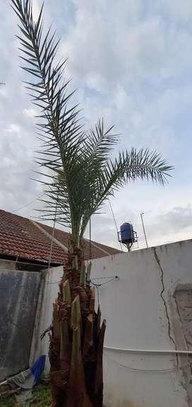 JUAL Pohon kurma, NEGO!