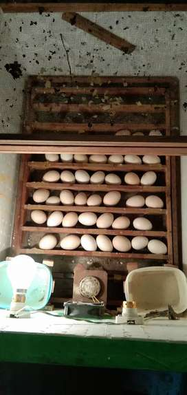 Egg incubator special 50 egg capacity. Offer only 4000 rs