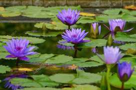 Water Lilly Flower  Seeds Available