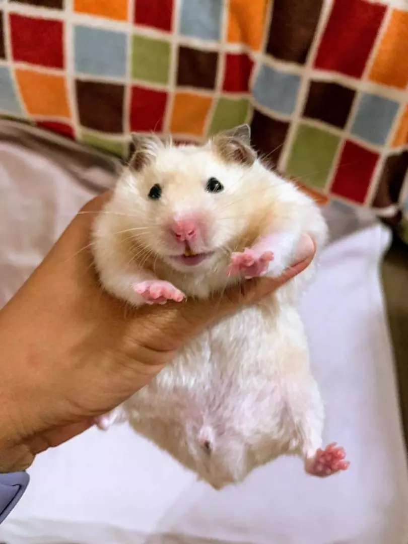 Hamster available for sale 0