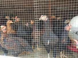 Ayam kampung pedaging
