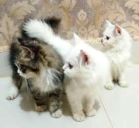 Jual cepat aja ya kucingnya.