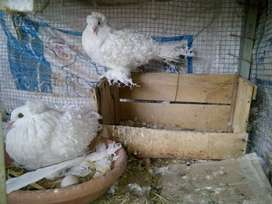 Frill back counfirm breeder pair for Sail location lodhran