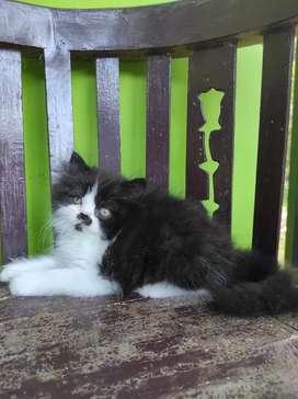 Kitten Persia Flatnose