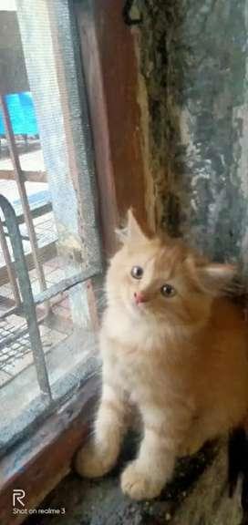 Parsion Cat