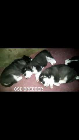 Beautiful puppies of Alaskan and husky cross breed r availbe for sale