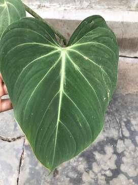 tanaman hias philodendron glosiorum