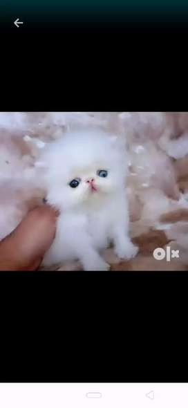 Best quality Persian kitten for sale