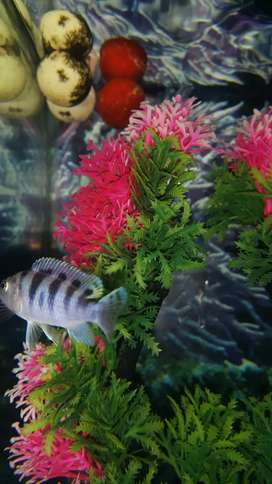 Pair of Zebra cichild fish and one electric blue cichlid