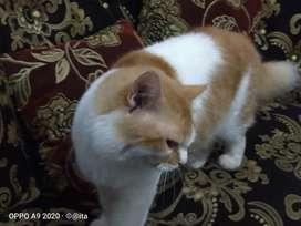 Persia medium dan flatnose calico