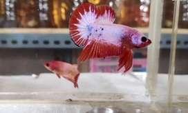 Ikan cupang Red Head 1pasang