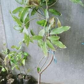 Bibit cangkok mangga manalagi 1 meter
