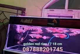 IKAN ARWANA GOLDEN RED HIBACK RIAU SIZE 17CM