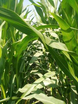 Silage maize filed