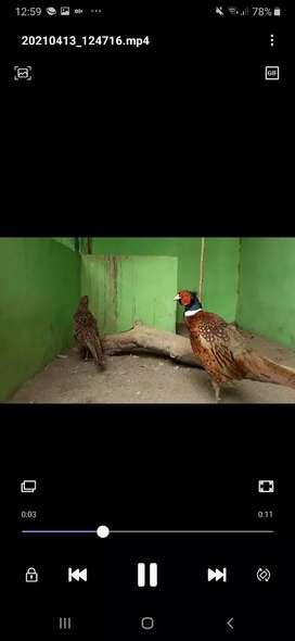 Burung pheasant