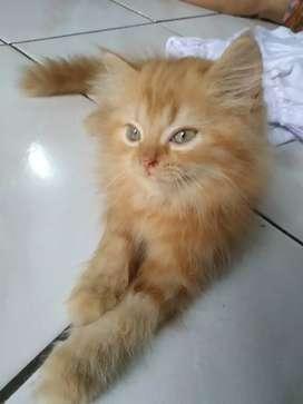 Kucing Persia Jantan Kitten